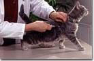 Macska oltás